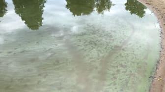 Arkivbild från algblomning i Sundstatjärn.