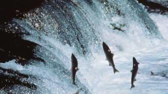 Alaska salmon leaps first MSC re-certification hurdle