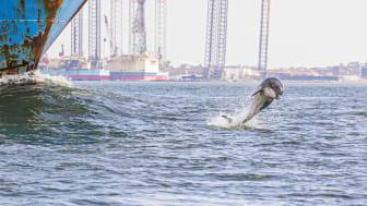 Øresvin leger ved Esbjerg Havn