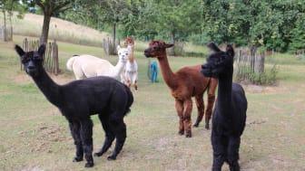 Die Alpakas sind die Hauptattraktionen unserer kleinen Farm
