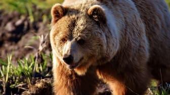 Årets björnjakt i Dalarna avlyst