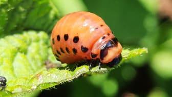 Koloradoskalbagge larv