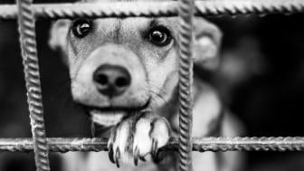 Många hundar som smugglas eller importeras i stor skala föds upp under dåliga förhållanden. Foto: Adobestock