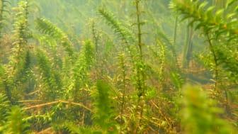 Vasspest (Elodea canadensis)