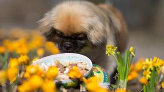 Påskgodis med choklad kan utgöra en fara för nyfikna hundar