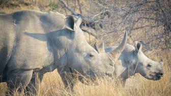 Trubbnoshörningar i Hluhluwe-iMfolozi Park, Sydafrika - ett av få områden där det har gjorts studier av hur denna mycket hotade art påverkar ekosystemet. Foto: Olli Hyvärinen