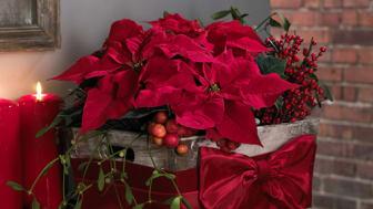 Enkätundersökning och julstjärnans hälsotillstånd