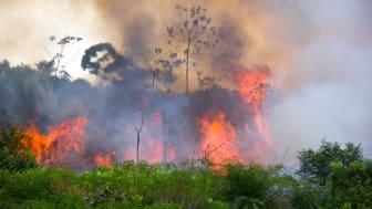Et stykke af brasiliansk Amazonas står i flammer. Der er i år registreret næsten dobbelt så mange skovbrande i Brasilien som i samme periode sidste år, viser satellitdata. Arkivfoto