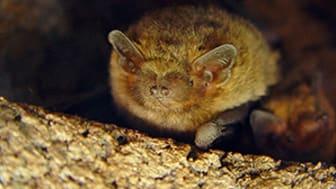 Pipistrella pygmaeus. Foto: Johnny de Jong