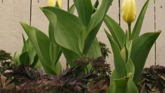 Blomsterlöksplantering i Mästarrabatten 2010