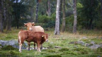 Köttguiden visar att svenskt kött är det som gäller