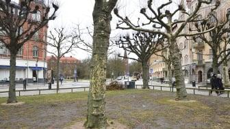 Inför flytten kommer man att rotbeskära de sex platanerna och två lindarna på Clemenstorget. Foto: Jurate Paulsson, Lunds kommun.