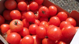 Tomatskörden var rekordstor 2020. Foto: Lena Clarin