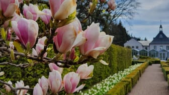 Magnoliaprakt vid Villa Abelin