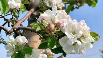Äppelblomning