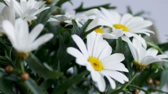 Månadens blomma – juni 2011