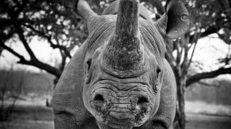 Svart noshörning i Zimbabwe
