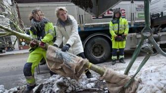 Ulla Hamilton (M): Nya träd planterade på Regeringsgatan i Stockholm