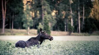 Nationell insatsvecka mot viltolyckor