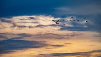 """Die """"Vögel des Glücks"""", die Kraniche, sind wieder unterwegs in Brandenburg. Foto: TMB-Fotoarchiv/Steffen Lehmann."""