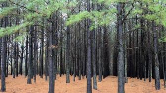 Mange skove er egentlig plantager, hvor der gror én type træer på lige rækker. De er ikke så gode som naturlige skove til at binde CO2 og bevare biodiversiteten.