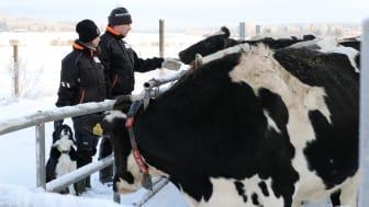 Arla Suomen maitotilojen hiilijalanjälki laskettu, 447 tilaa aikoo pienentää hiilipäästöjään 30 % vuoteen 2025 mennessä