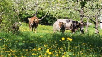 Kühe auf dem Gelände des Goetheanum-Gartenparks (Foto: Sebastian Jüngel)
