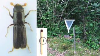 Ekcylinderbaggen är drygt 5 mm lång (här jämförd med en vanlig tändsticka) och fångades i en s.k. IBL-fälla betad med feromon. Foton: Joel Hallqvist.