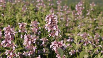 Blånepeta, Nepeta grandiflora 'Dawn to Dusk'. Vårnyhet 2014, Blomsterlandet