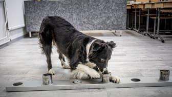 Suomessa koulutetaan parhaillaan koronavirusnäytteitä nuuhkivia koiria, joiden kaavaillaan työskentelevän pian kenttätyössä lentoasemalla. Koirakot ovat tavattavissa Vantaan Tammistossa 2.9.