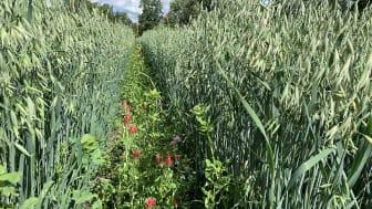 Insådd av blommande baljväxter i spannmål är ett sätt att tillföra variation på fälten. Här är det blodklöver, doftklöver och spärrklöver (syns knappt) som såtts in som bottengröda i havre. Foto: Anna Lundmark