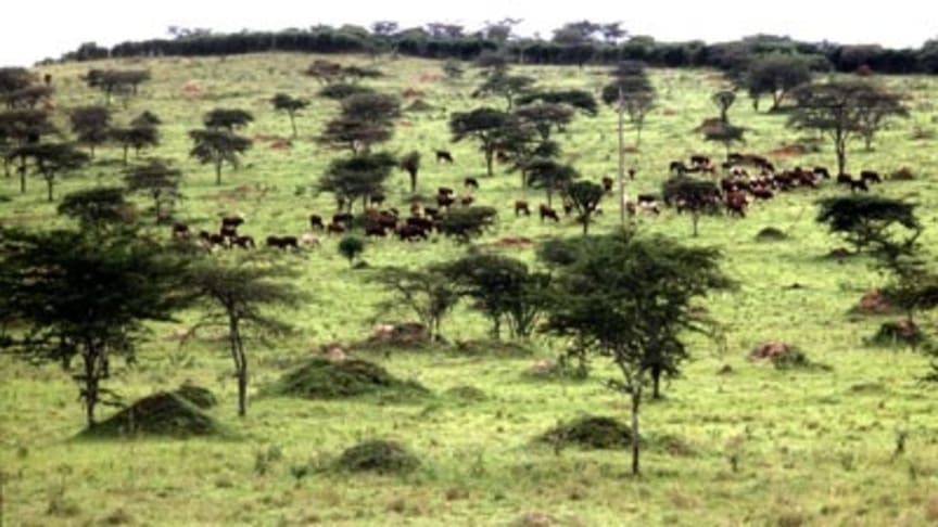 Betesmarker – en outnyttjad resurs för klimatet