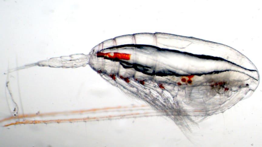 Föroreningar som skulle hamnat i luften släpps istället ut i havet med allvarliga konsekvenser på viktiga djurplankton.  Foto: Malin Daase, Norska Polarinstitutet.