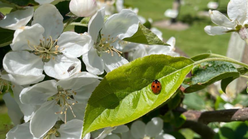 Nyttodjur i äppelblom