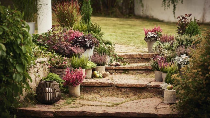 HØSTFIN HAGE: Høstplanter som lyng, krysantemum, skimmia og prydkål bidrar til at hagen får en ny fargeboost. Foto: Plantasjen
