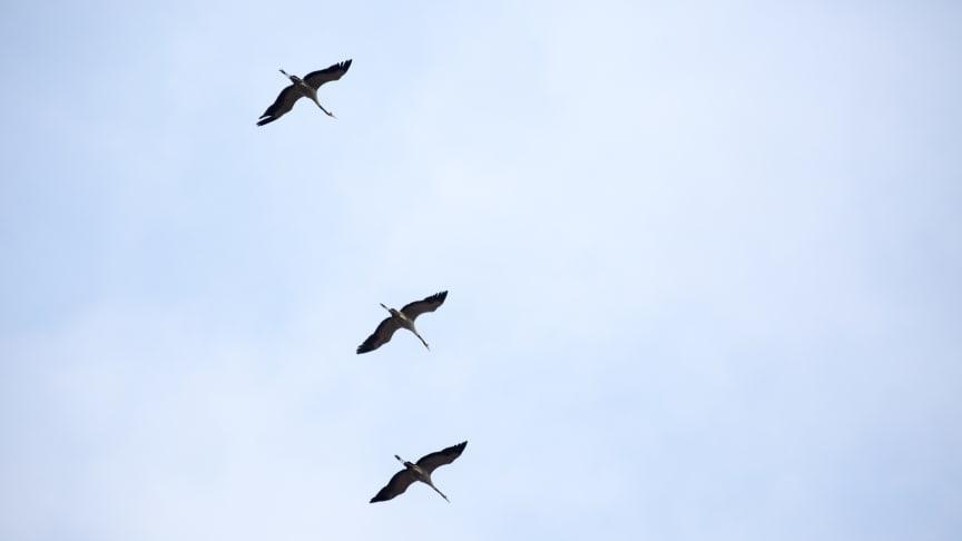 Mit ihren legendären Trompetenrufen fliegen wieder tausende Kraniche zu ihren Rastplätzen in Brandenburg. Foto: TMB-Fotoarchiv/Steffen Lehmann.