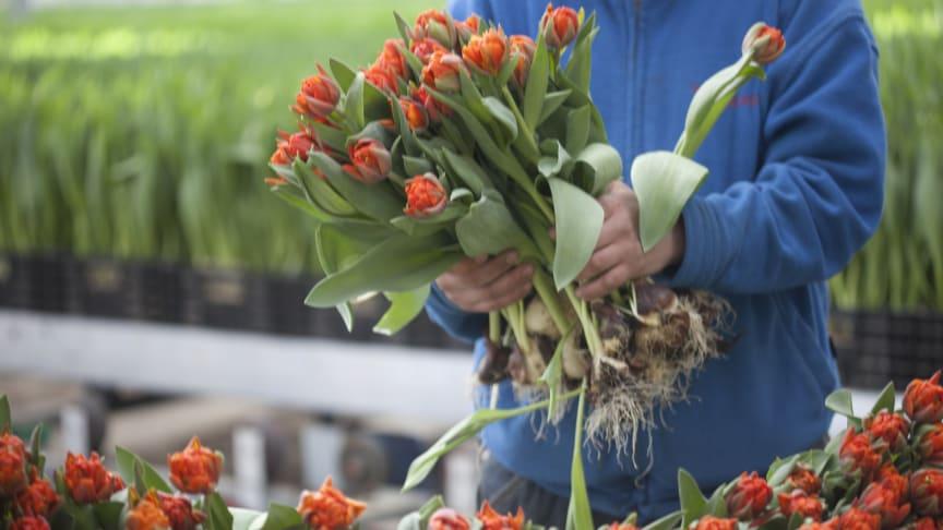 Tulpaner och prydnadsväxter märkta med Från Sverige är odlade i Sverige av duktiga trädgårdsmästare.