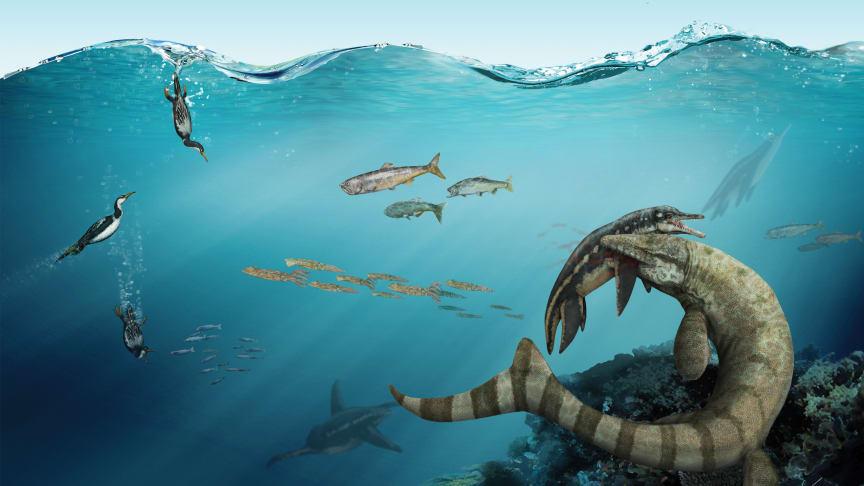 Mosasaurien Prognathodon, även kallad Dollosaurus och kunde bli åtta meter lång, biter en korthalsad plesosaurie i axeln i Kritahavet runt Kristianstad för 80 miljoner år sedan. Illustration Gabriel Urgento