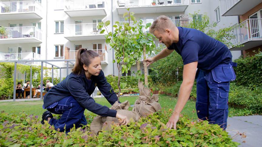 Fastighetsskötare från HSB planterar träd på innergård. Fotograf Bingo Rimér.