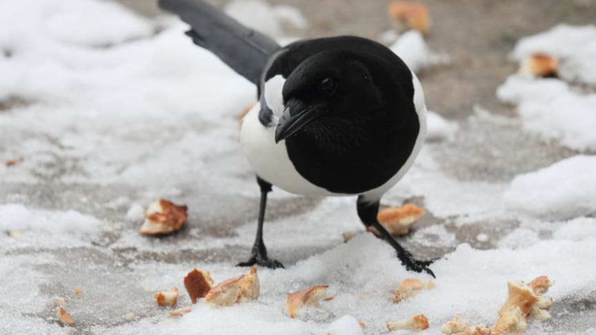 COMMENT: In defence of magpies: the bird world's bad boy is simply misunderstood