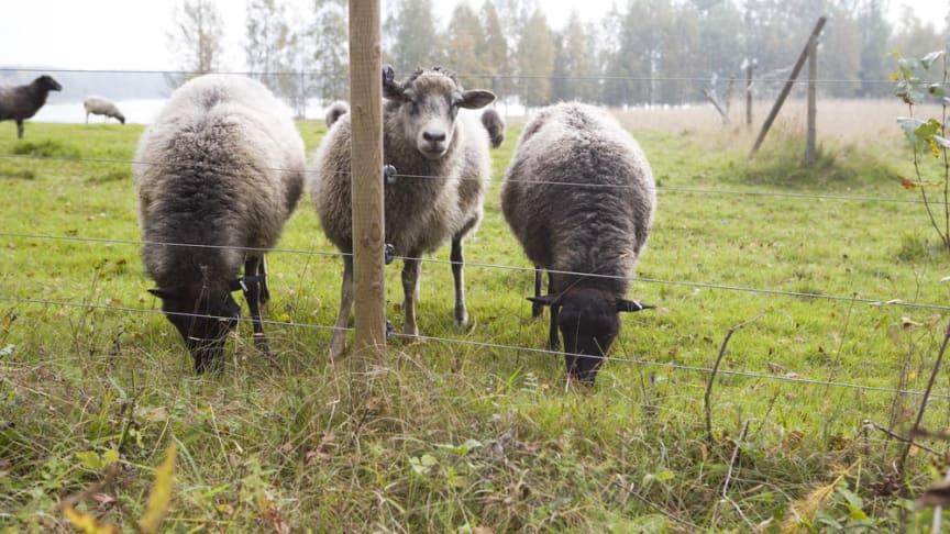 Femtrådigt elstängsel runt fårhage. Foto: Hans Bjurling/Viltskadecenter, SLU
