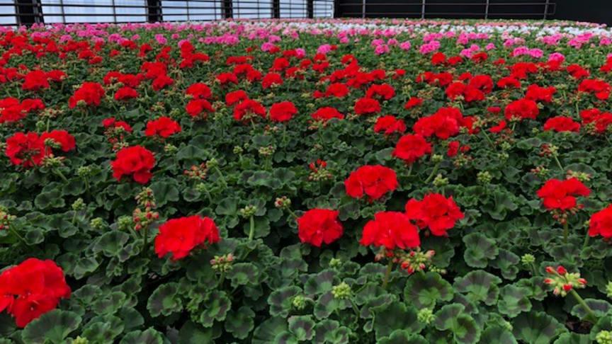 Nu när tulpansäsongen är över är det fullt av pelargoner i växthusen