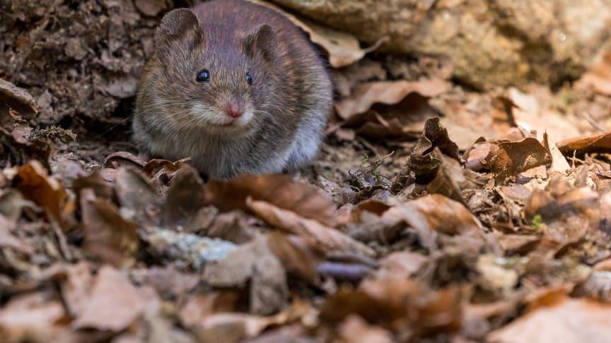 Mot ett rekordår – nu inleds höstens råttinvasion