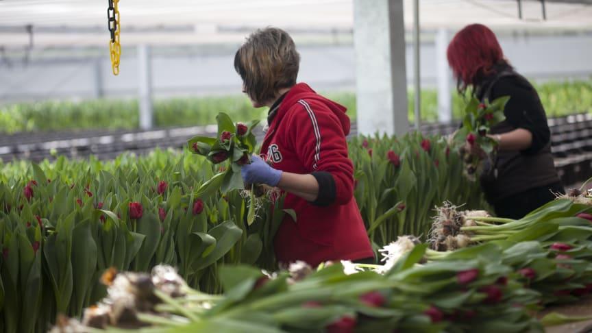 Aldrig har produktionen av svenska tulpaner varit så stor som nu.