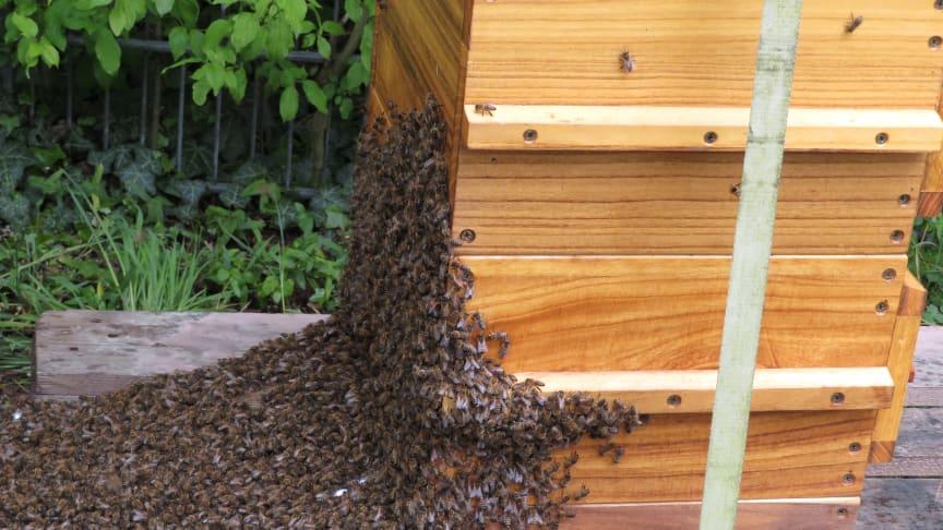 Nahaufnahme des Bienenvolkes mit 20.000 Bienen am DOYMA-Bienenhaus