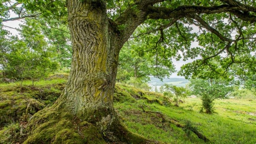 Naturbetesmark i Sverige, Foto: Ola Jennersten