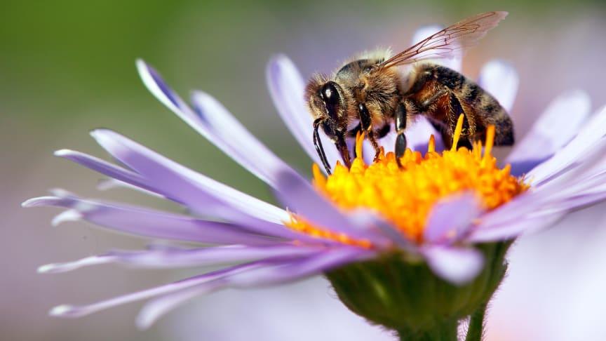 Denne honningbi er måske i stand til at løse simple, matematiske opgaver. Foto: Shutterstock.