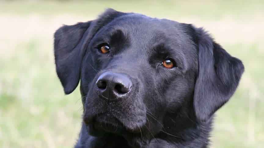 En av de labradorhundar som medverkade i studien. Foto: Maria Sundberg