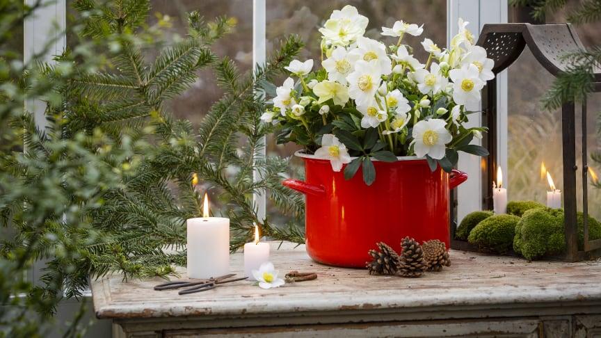 Svenskodlad julros från Frillesås Handelsträdgård känner du igen på den utmärkta kvalitén samt att den är märkt med ursprungsmärkningen Från Sverige. Foto: Emilia Ahlgren