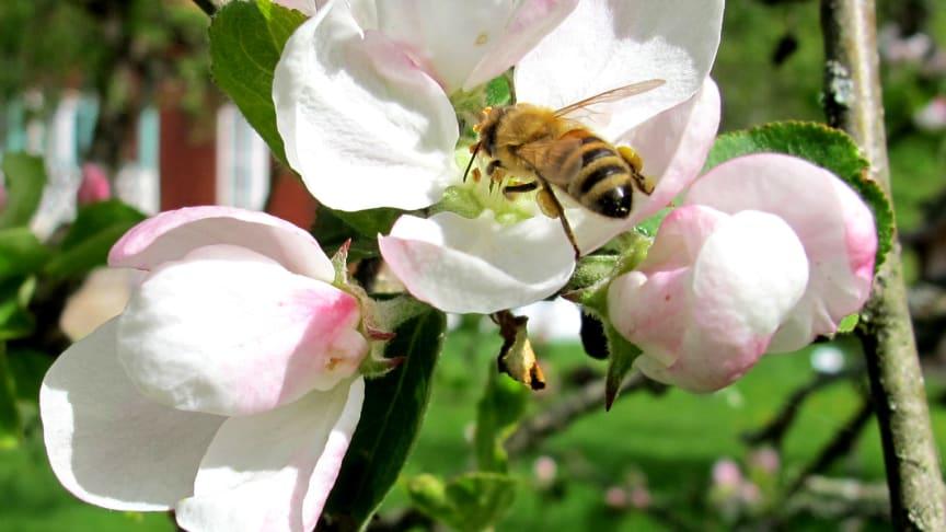 Måndagen den 20 maj är det World Bee day. Foto: Apinordica.